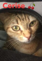 Cerise, Chat gouttière à adopter