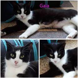 Gaia, Chat européen à adopter