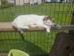 Lady, Chat européen à adopter