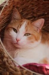 Capriccio recherche une famille d'accueil, Chat européen à adopter