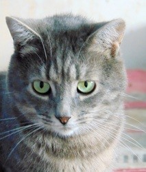 Anya femelle tigrée 2 ans, Chat à adopter