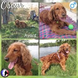 Oscar, Chien cocker anglais à adopter