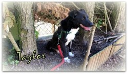 Taylor, Chien  à adopter