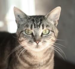 Misahana femelle tigrée de 3 ans 1/2, Chat à adopter