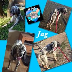 Jag, Chien setter anglais à adopter