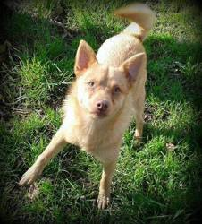 Nuggets, Chien chihuahua, spitz allemand à adopter