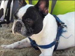 Boby, Chiot bouledogue français à adopter
