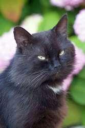Zerbino, Chat européen à adopter