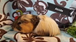 Alcide, Animal à adopter