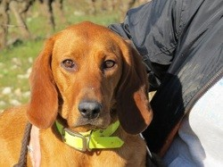 Alizee, Chien à adopter