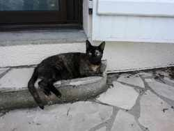 Gandia, Chat européen à adopter