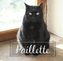 Paillette, Chat européen à adopter