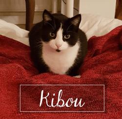 Kibou, Chat européen à adopter