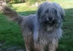 Lilou, Chien berger de brie, husky sibérien à adopter