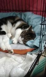 Livy, Chat européen à adopter
