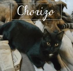 Chorizo, Chaton européen à adopter