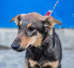 Molnija, Chiot à adopter