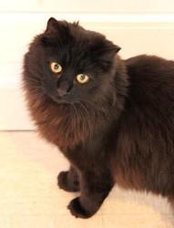 Yuki chat noir poil long de 1 an, Chat à adopter