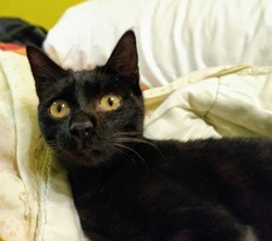 Sofia, Chat à adopter