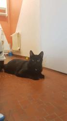 Blanco, Chat européen à adopter