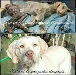 Piscis, Chien chien courant espagnol à adopter