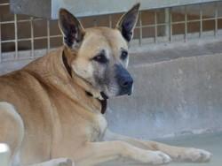 Piraka, Chien bull terrier, chien courant de transylvanie à adopter