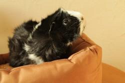 Luciole, cochon d'inde femelle, Animal à adopter