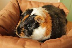 Bijou, cochon d'inde femelle, Animal à adopter
