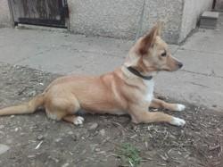 Ozzy, Chiot podenco portugais à adopter