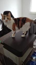 Boulie, Chat européen à adopter