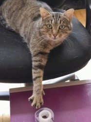 Nevis, Chat à adopter