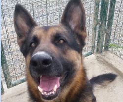 Wolf, Chien berger allemand à adopter