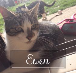 Ewen, Chaton européen à adopter