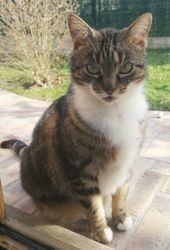Sya, Chat européen à adopter