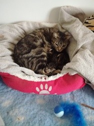 Huhu, Chat européen à adopter