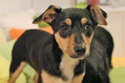 Léo, Chiot pinscher à adopter