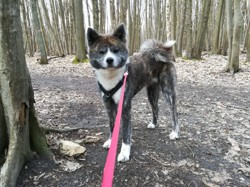 Yuki, Chien akita inu à adopter