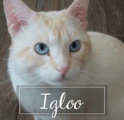 Igloo, Chat européen à adopter