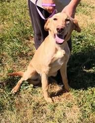 Orson, Chiot labrador retriever à adopter