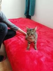 Grisouille, Chat européen à adopter