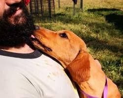 Thor, Chiot beagle à adopter