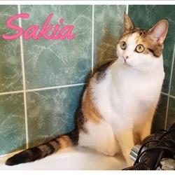 Sakya, Chat européen à adopter