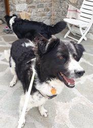 Jiyu, Chien border collie à adopter