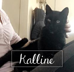 Kalline, Chat européen à adopter