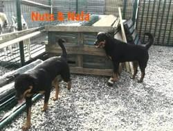 Nuts et nala, Chien dobermann, rottweiler à adopter