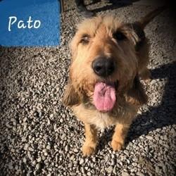Pato, Chien briquet griffon vendéen à adopter