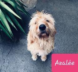Azalee, Chien à adopter