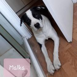 Malka, Chien dogue argentin à adopter