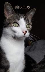 Biscuit, Chat à adopter