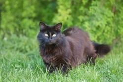 Réglisse, Chat européen à adopter